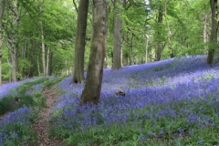 1-BLUEBELLS-by-Andy-Kent