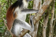 kirk-red-colobus-monkey