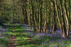 Stainborough-bluebell-wood