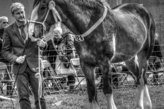 1 D SHIRE HORSE by Roy Lloyd