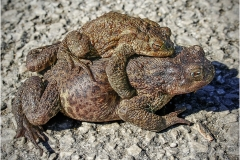 COMMON TOADS by Bob Harper