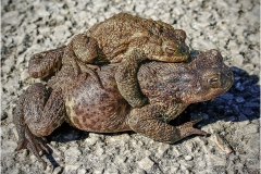 D COMMON TOADS by Bob Harper