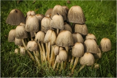 D INK CAP FUNGI by Bob Harper