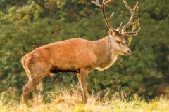 P RED DEER STAG by Tom Allison