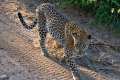 KRUGER LEOPARD by Rob Mason
