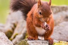 P-RED SQUIRREL by Tom Allison