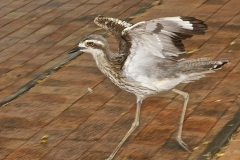P-BUSH STONE CURLEW by Harry Watson