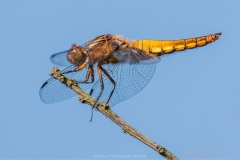 P-FEMALE BROAD BODIED CHASER by Tom Allison