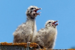 14D-SEAGULL-CHICKS-by-Ray-Evans