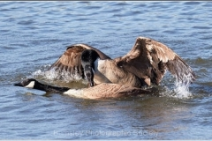 CANADA-GEESE-MATING-by-Phil-Holmes