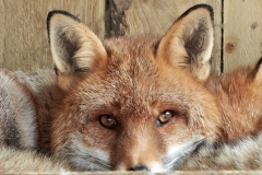 FOXY by Phil Holmes