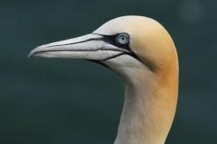 Gannets_Head_AK___First_Res